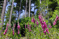 Foxgloves in the forest are used for medicine Royalty Free Stock Photos