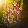Foxgloves purple in the sunlight Stock Photo