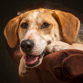 Foxhound cross dog beagle american posing in an armchair Royalty Free Stock Images