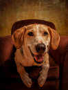 Foxhound cross dog beagle american posing in an armchair composed with a rich texturized effect Stock Photo
