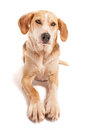Foxhound portrait of a beagle cross Stock Photos