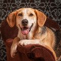 Foxhound portrait of a beagle cross Stock Image