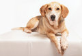Foxhound portrait of a beagle cross Royalty Free Stock Images