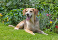 Foxhound portrait of a beagle cross in the garden Stock Images
