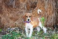 Foxhound puppy in front of haybale Royalty Free Stock Photo