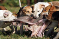 Foxhounds after parforce hunt during curee Royalty Free Stock Image