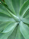 Foxtail Agave Stock Photography