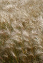 Foxtail Chess Blowing in the Wind Stock Photography