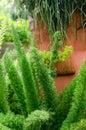 Foxtail fern in garden at Chiang Mai, Thailand