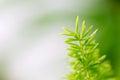 Foxtail Fern leaf. Royalty Free Stock Photo