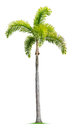 Foxtail palm tree on white background Stock Photos