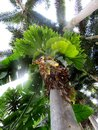 Foxtail palms with elkhorn ferns Royalty Free Stock Photo