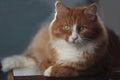 Foxy cat Royalty Free Stock Photo