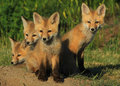 Foxy Four Royalty Free Stock Photo