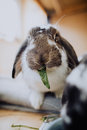 Fozzy The Lop Eared Rabbit Royalty Free Stock Photo