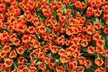 Frühling tulip flowers background feld von tulip flovers auf einem frühlingsfest Lizenzfreie Stockfotos
