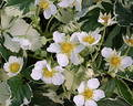 Fragaria vesca 'Variegata'  Royalty Free Stock Photography