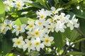 Fragipani Blooms Royalty Free Stock Photo