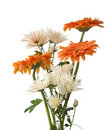 A fragment of chrysanthemum Stock Photography