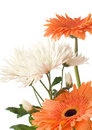 A fragment of chrysanthemum and gerberas ' bunch Stock Photos