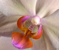 Fragment of flower of beautiful orchid Phalaenopsis