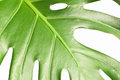 The fragment of monstera flower isolated Stock Image