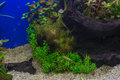 Fragment of the planted aquarium beautiful tropical freshwater Stock Photography