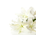 A fragment of white lilies bunch on background Royalty Free Stock Image