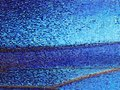 A fragment of a wing of the Blue morpho butterfly, high magnification. Royalty Free Stock Photo