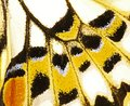 A fragment of a wing of the lime swallowtail butterfly. Royalty Free Stock Photo