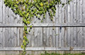 Fragment of a wooden rural fence rustic style on which branches wild grapes hang sunny autumn september day Royalty Free Stock Image