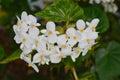 Fragrant begonia begonia odorata latin name Royalty Free Stock Photos