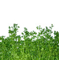 Fragrant green parsley isolated on white background macro view of horticultural beds with fresh with clipping mask Royalty Free Stock Images