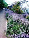 Fragrant lavender in the park along the alley grow bushes Royalty Free Stock Image