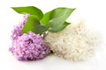 Fragrant lilac flowers two on the white background Stock Image