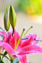 Fragrant lilies close up and drop water Royalty Free Stock Photo
