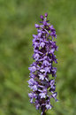 Fragrant orchid the gymnadenia conopsea is a herbaceous plant belonging to the family orchidaceae Stock Photography