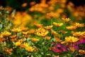 fragrant sunny flower mix Royalty Free Stock Photo