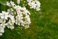 Fragrant white choisya flowers against green grass background Royalty Free Stock Photo