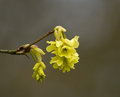 Fragrant winter hazel delicate sweet smelling yellow flowers of Stock Photo