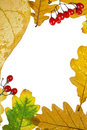Frame from autumn color leaves and berries Royalty Free Stock Image