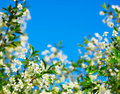 Frame of cherry blossoms against the blue sky Stock Photos