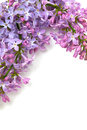 Frame of lilac isolated on white background Stock Photo