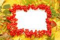Frame made of rowan berries Stock Photography