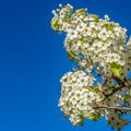 Frame Square Dainty white flowers on the branches of a tree isolated against clear blue sky Royalty Free Stock Photo