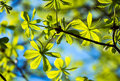 Frame of translucent horse chestnut textured green leaves Royalty Free Stock Photo