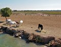 France Camargue horses and bulls grazing Royalty Free Stock Photo