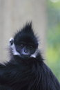 Francois langur the detail of Stock Photos