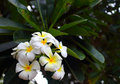 Frangipani beautiful white flowers in tropical garden Stock Images