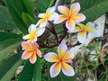 Frangipani beautiful white flowers in tropical garden Royalty Free Stock Photo